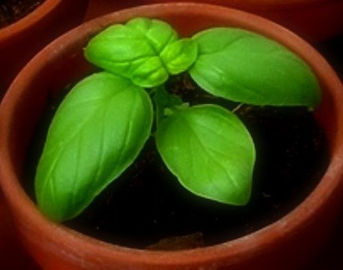How to prune basil so your plant will be bushy instead of spindly.