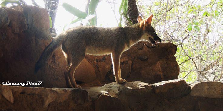 Zorro Costeño: es la especie más pequeña del género Lycalopex. Su color es mayormente grisáceo. La cabeza es pequeña, con los orejas relativamente largas y un hocico corto. El rostro es gris, y hay un anillo marrón rojizo alrededor de los ojos. Los miembros frontales (hasta los codos) y los miembros traseros (hasta los talones) son generalmente rojizos en color. La cola es relativamente larga, siendo mas oscura hacia el extremo.