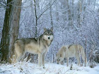 Lobo ou Lobo-cinzento (Canis lupus) é o maior membro selvagem da família canidae. É um sobrevivente da Era do Gelo originário durante o Pleistoceno Superior, cerca de 300.000 anos atrás. Atualmente, o próprio cachorro é considerado uma subespécie de lobo.