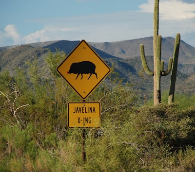 Javelina crossing at Schoolhouse Road in Cave Creek, AZ. I know right where this is and have seen the Javalina!