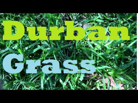 [What Grass Is That] [Durban Grass] [Sweet Smother] [Sweet Smother Grass] - Durban Grass - What Grass Is That? at https://youtu.be/3_1SnVH3qMs