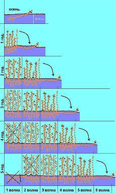 Пошаговая технология выращивания черной смородины и крыжовника.