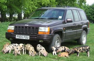Oxford Sandy and Black   weaners enjoying life around a car  Great personality, very docile, wonderful mother and easy to handle. This pig does not seem to have a bad bone in its body and is great where children are concerned. A pig that certainly 'catches the eye'.