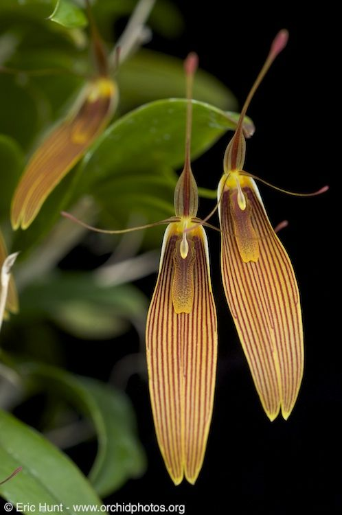 Miniature-Orchid / Micro-Orquidea: Restrepia anteninfera 'Giselle' © Eric Hunt, All Rights Reserved