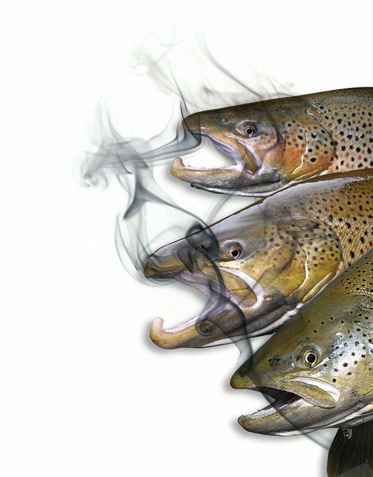 Het roken van forel Om de forellen te drogen en te roken kan er een speet door de ogen gestoken worden. Er is dan echter een groot gevaar dat de vissen bij het roken van de speet afvallen en in het vuur terecht komen. Het is veiliger bij een goed gesorteerde hengelsportzaak speciale rookhaken te …