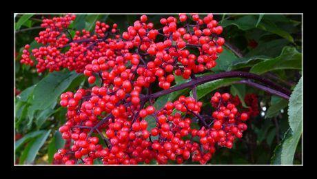 """Socul cu fructe roșii (Sambucus racemosa) este o specie de soc și face parte din genul Sambucus, familia Adoxaceae, """"rudă"""" apropiată a socului cu fructe negre (Sambucus nigra). Arbustul este originar din America de Nord, Europa si Asia. Crește pe malurile apelor..."""