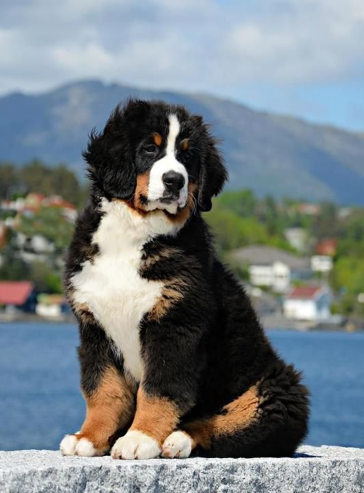 bernese mountain dogs = love!