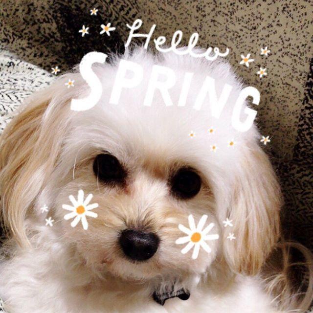 #Snow で撮影。  3枚目はのぞみちゃんじゃありません。 妹ちゃんです。  お友達のところで増えたので… 里親さんに渡すためにお出かけ。 ついてきてー。って言われてついて行きました。  #ポメプー #ポメラニアン #プードル #オス #ラミ #愛犬 #あまえんぼ #可愛い #もふもふ #ミックス犬 #ハーフ犬 #20140531 #2歳 #癒し #親バカ #滋賀から来た #ブリーダーは毛芝さん #パテラ
