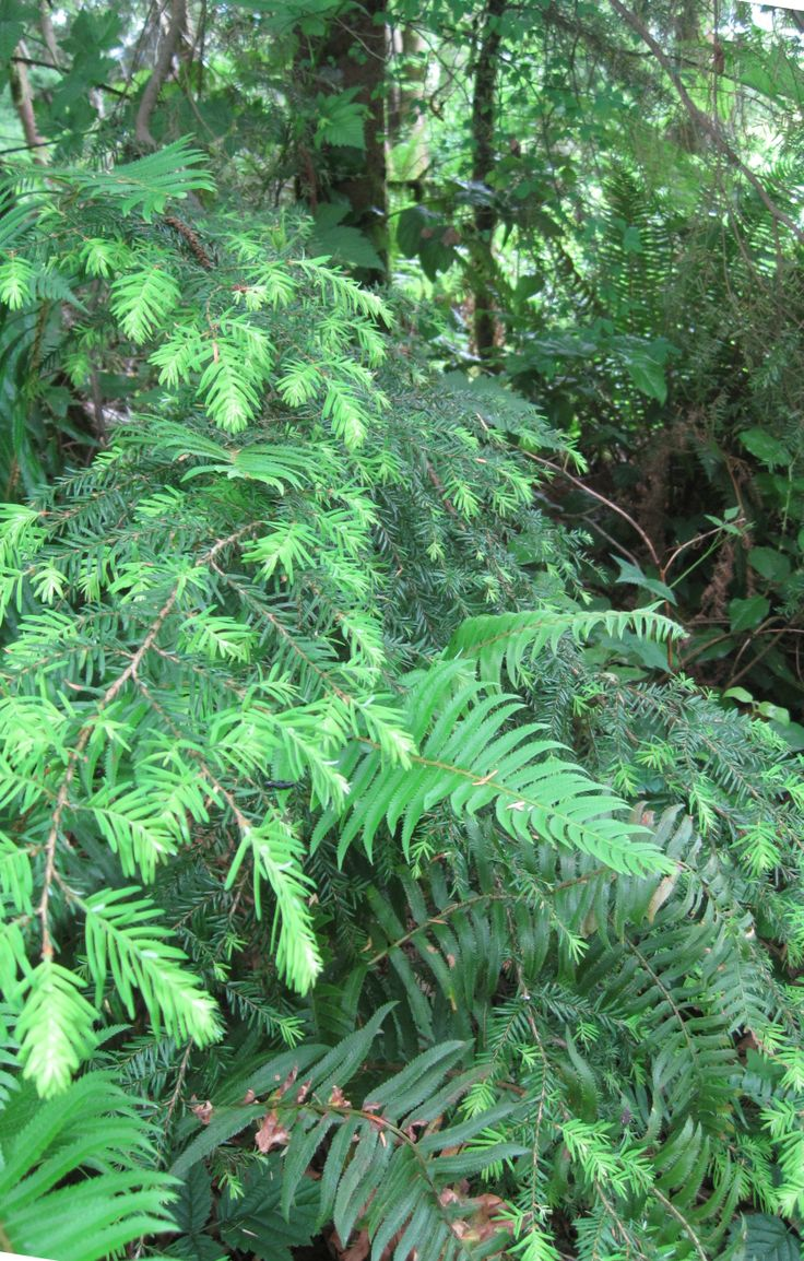 June in Seattle evergreens sprouting new tips