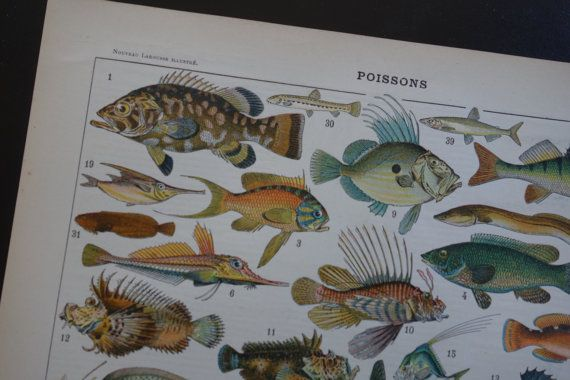 109 year old fish print 1905 antique French pictures of fishes by DecorativePrints