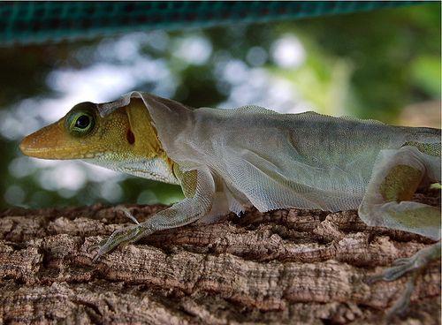 Tree Lizard or Zandoli Shedding Skin