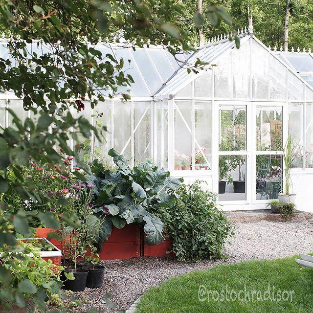 Det är nåt särskilt med immiga växthus och lukten av jord.  Doftminnen från tidig barndom gör sig påminda och besök med föräldrarna i handelsträdgårdar, ofta på landet. Växthusen kändes oändligt långa och växterna fascinerade. Hade jag tur fick jag en kaktus med mig hem. Den första finns fortfarande kvar. Nu står kaktusrader i eget glashus, men får samsas med tomater och aubergine.  #mittväxthus #minträdgård #tidigamornar #mygarden #mygreenhouse #swedishgarden #rostrochradisor…