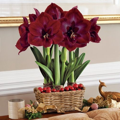 3-in-1 Grand Trumpet® Diva Amaryllis Bulb Gift - Christmas Gift Bulbs in  from Jackson & Perkins on shop.CatalogSpree.com, your personal digital mall. Georgous!