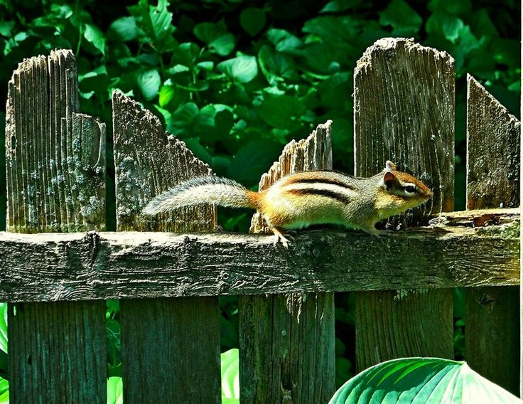 Secret Squirrel Protect Your Nuts Patch: 17 Best Images About Chipmunks On Pinterest