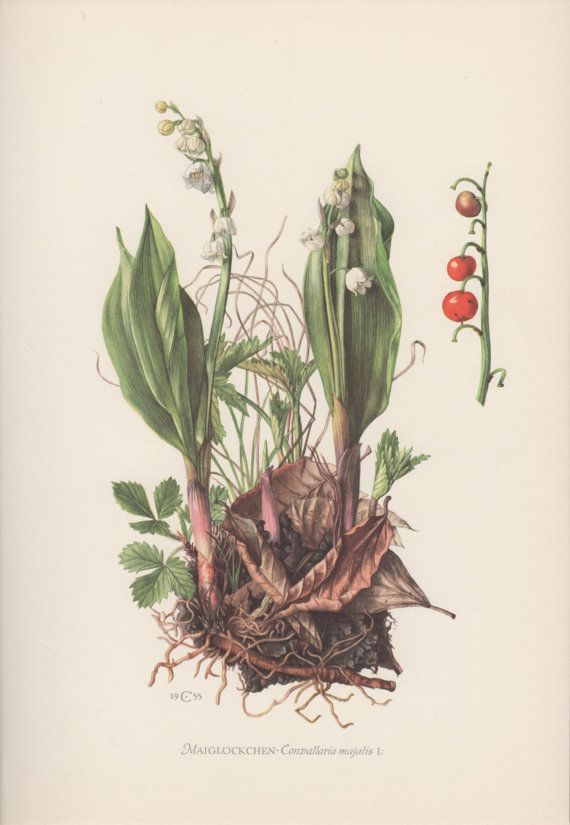 1950's Botanical Print, Lily of the valley, Convallaria majalis, Flora…