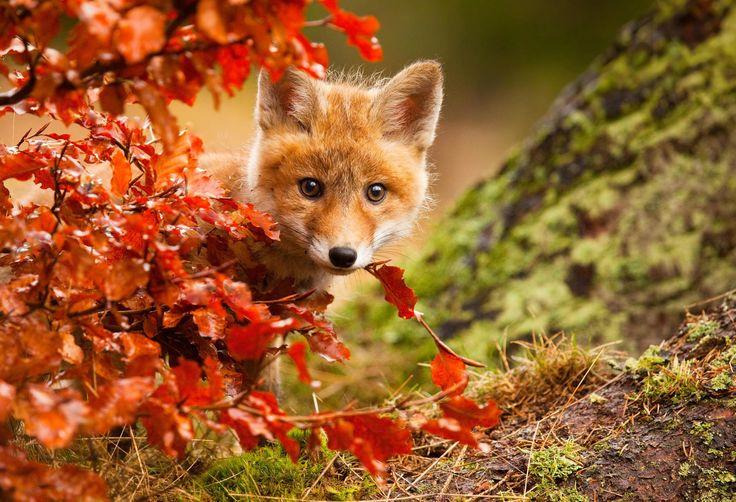 1X - Fox by Robert Adamec