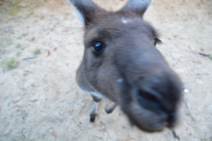 No, Jarrah, we do not keep apple slices inside the camera! He's a dear old thing. #kangaroo #wildlife #nannup #nannuprealestate #kangaroo #nature #naturallynannup