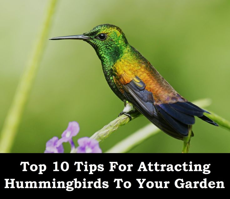 ideas about Attracting Hummingbirds on Pinterest