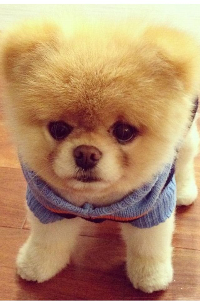 40 Best Perky Poms Images On Pinterest Pomeranians