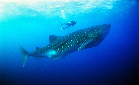 Snorkeling with the whale sharks in Tofo, Mozambique...one of my favorite travel/life experiences ever