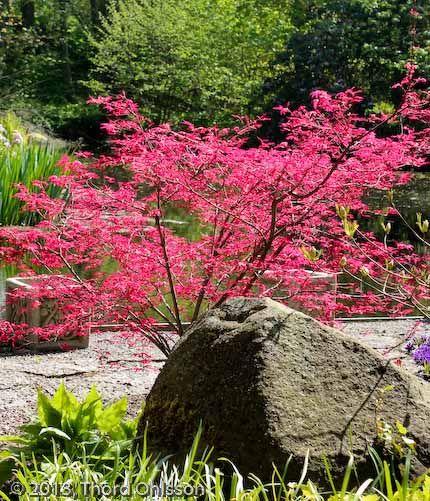 Acer palmatum 'Beni komachi' med sina laxröda vårfärger.Japansk lönn http://www.tradgardshuset.com/sortiment/buskar/buskar/