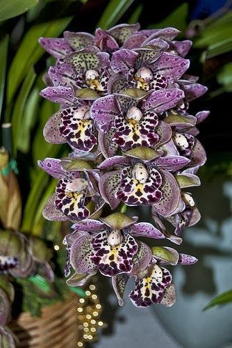 flower orchid flora gardens cymbidium orchids magic orchids