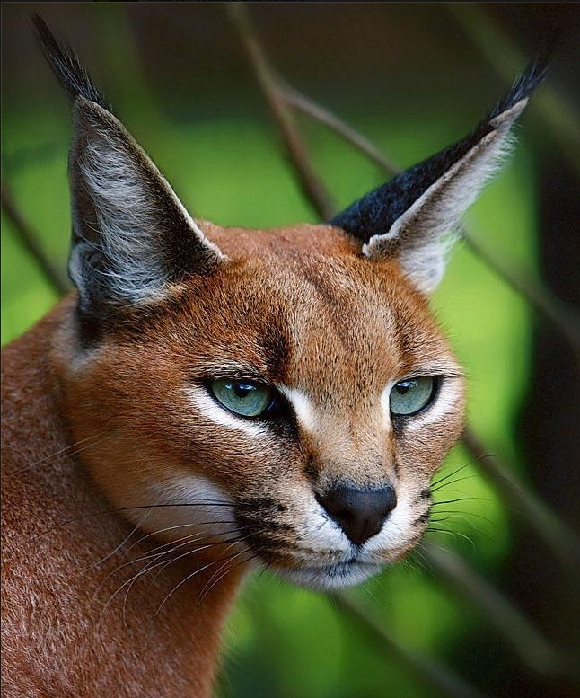 """The Caracal, is a fiercely territorial medium-sized cat ranging over Western Asia, South Asia and Africa. The word caracal comes from the Turkish word """"karakulak"""", meaning """"black ear""""."""