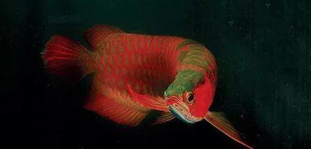 рыба дракон арована рисунки: 14 тыс изображений найдено в Яндекс.Картинках