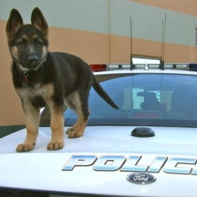 so cute!!! K9 Pup!!! Tactical & Special Response Team