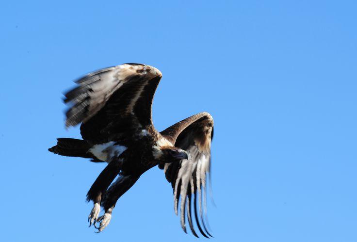Wedge tail eagle in flight, Simpson Desert. www.australianphotos.com.au