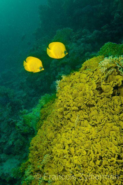 Yellow butterfly fiches - Red Sea.  Chaetodon sp.  Poissons papillons jaunes devant des coraux jaunes. Mer rouge  (C) François Zylberman