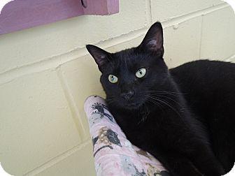 House Springs, MO - Domestic Shorthair. Meet Cadi, a cat for adoption. http://www.adoptapet.com/pet/10730136-house-springs-missouri-cat