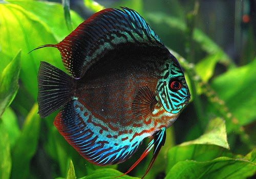 discus fish | The Discus Fish: A Favorite Among Aquarists and Frisbee Players ...