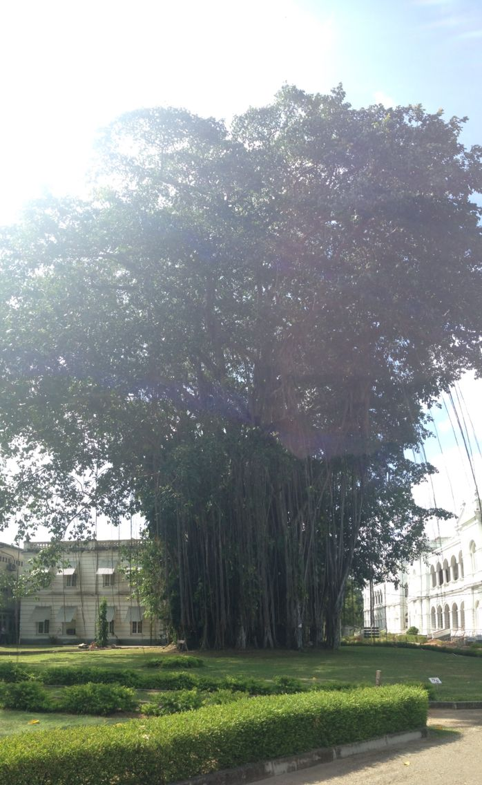 Tree in Colombo!  Surrounded by nature.