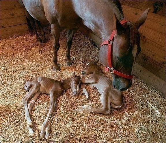 Новорожденные Близнецы! Очень редкий случай у лошадей.
