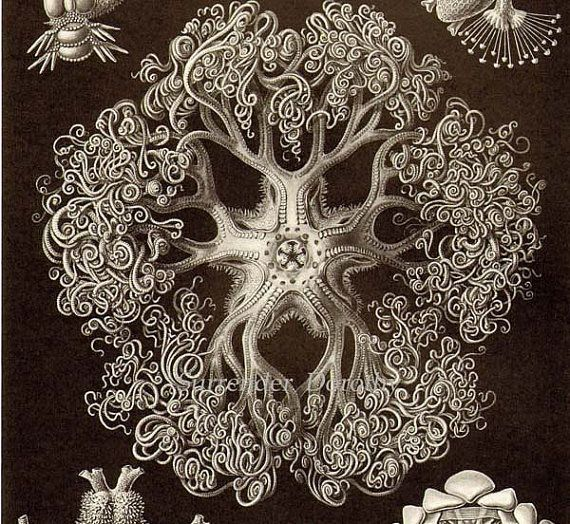 Starfish Giant Basket Star & Coral Haeckel Print Natural History Oceanography Victorian Scientific Lithograph To Frame Black White – Renee Rodman