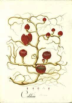 102483 Langsdorffia hypogaea Mart. / Mutis, J.C., Drawings of the Royal…