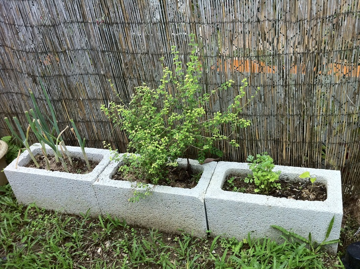 my huerto casero de pr cebollines organo pequeo y cilantro