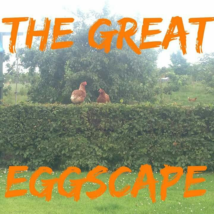 Our hens on the loose