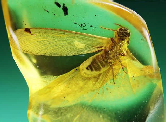 Superb Winged Termite in Baltic Amber
