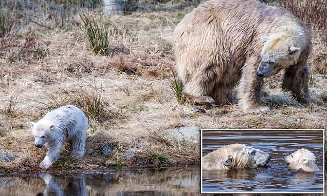 Britain's only polar bear cub enjoys a leisurely dip with his mother