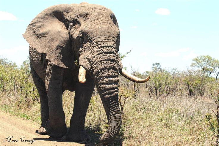 Kruger Park Top 10 Elephant Bull