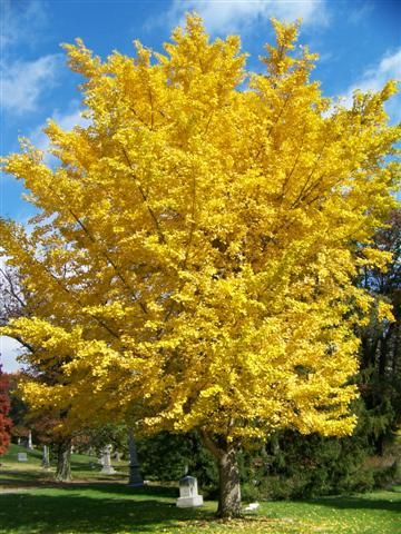 Ginkgo biloba 'Autumn Gold' Autumn Gold Maidenhair Tree 50 ft tall and wide at maturity