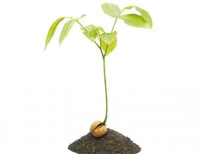 Ako sa starať o semenáčiky orecha?