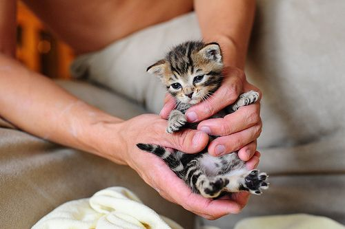 died a little inside.Hands, Pets, Baby Kittens, Bengal Kittens, Babycat, Things, Baby Kitty, Adorable Animal, Baby Cat