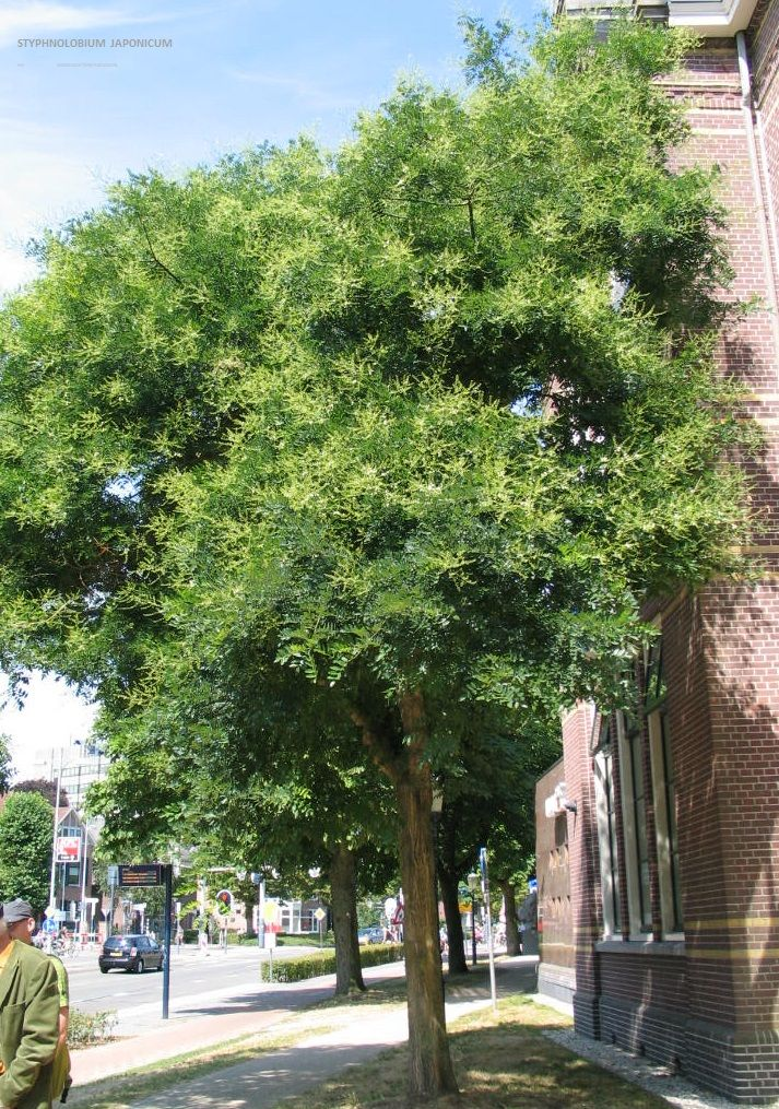 Ongebruikt Styphnolobium japonicum – honingboom, snelgroeiende boom: 15-20 m RQ-62