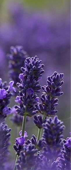 Also the oil from Lavender has so many medicinal properties. The smell alone is uplifting.................