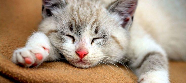 Foto, gambar & wallpaper kucing :persia, hutan, anggora cantik & lucu