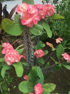 crown of thorns- Euphorbia milii, is a succulent plant in the same family as the poinsettia, the thorns cover stems that ooze latex sap when cut.