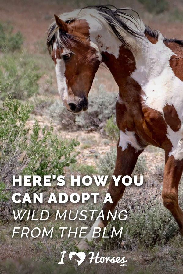 How To Adopt A Wild Mustang From The Blm In 2020 Horses Wild Mustangs Beautiful Horses Wild